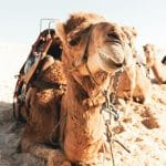 camel resting on dry terrain on sunny day